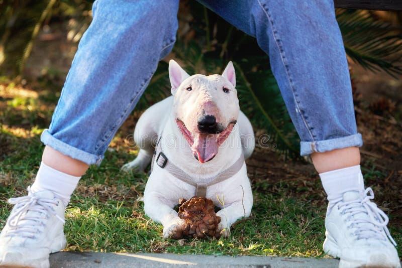 White bull terrier lying under a bench between teen girl legs stock photos