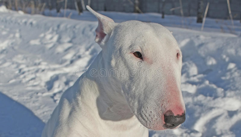 White Bull Terrier royalty free stock photography