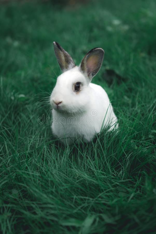 White bunny in the grass royalty free stock photo