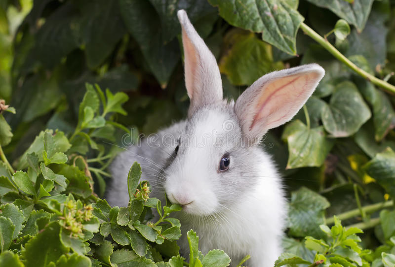 Download White bunny stock photo. Image of gray, outdoors, domestic - 33906006