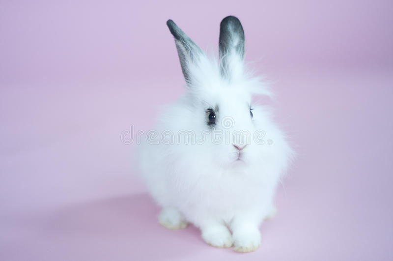 Download White Bunny Rabbit On A Pink Background Stock Image - Image: 26151519