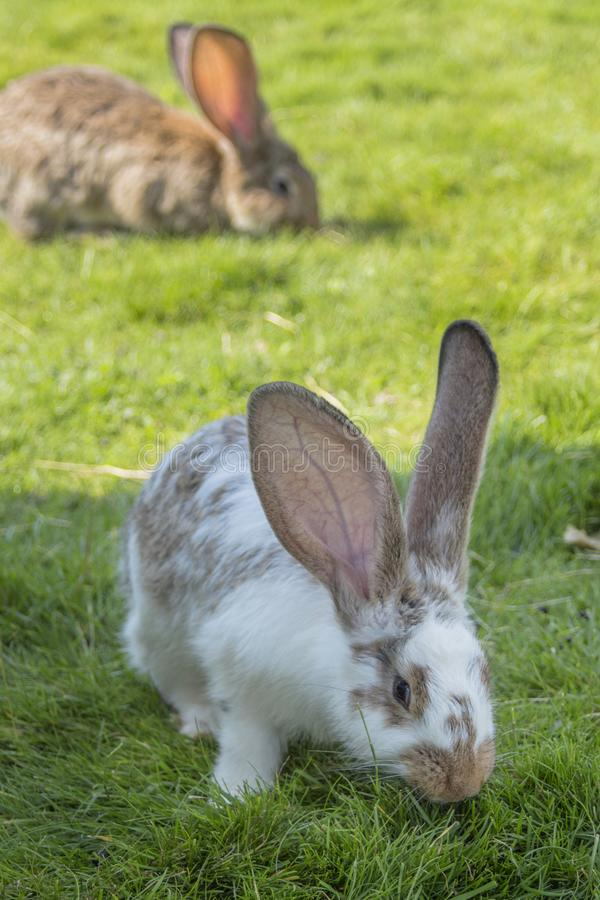 A white bunny of spots holds green grass. In the bottom a gray-brown rabbit. stock images