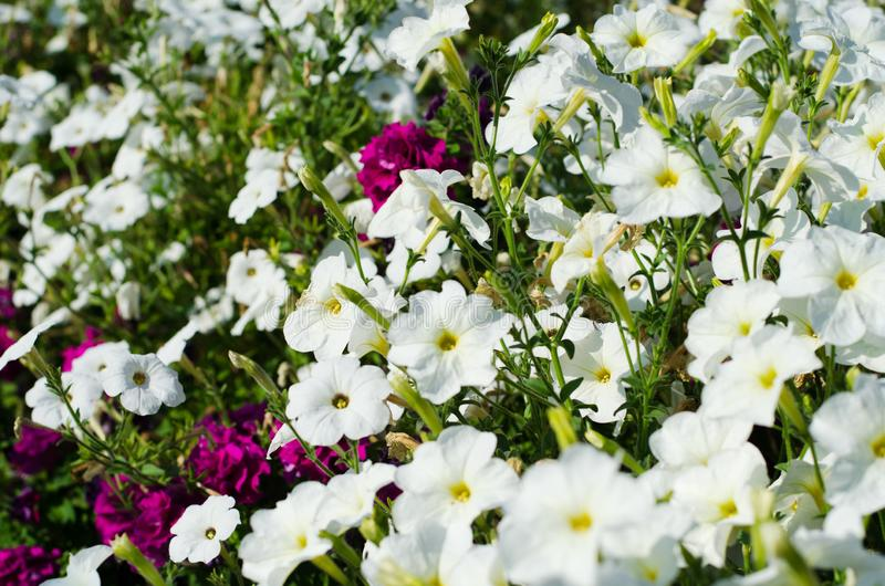 White and Burgundy Petunia flowers in the garden. stock images