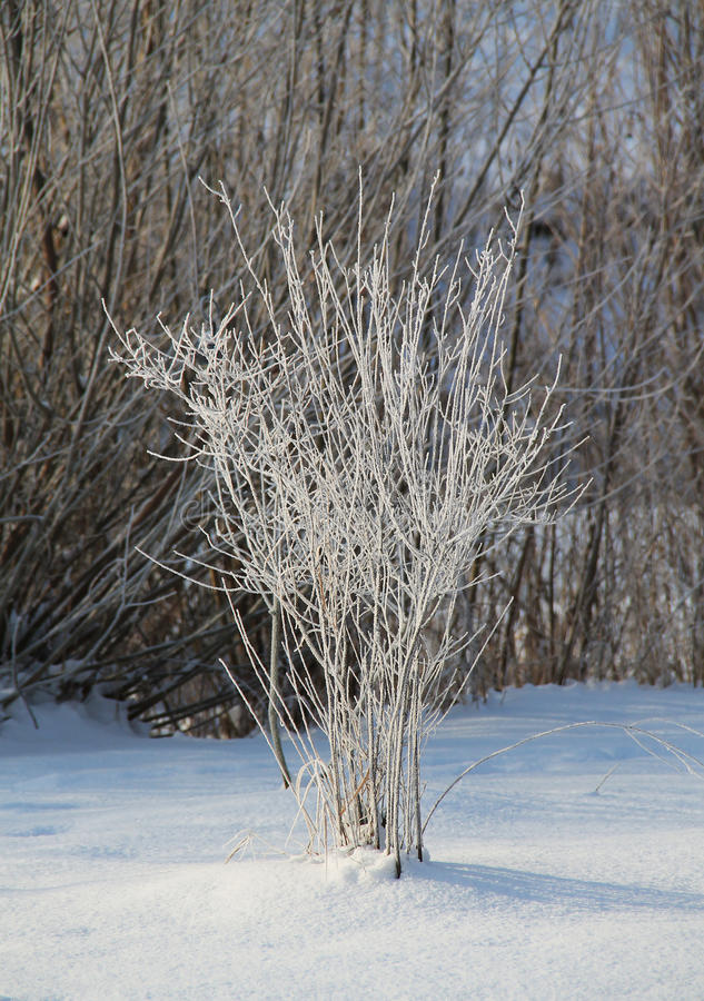 Download White Bush Stock Photo - Image: 83712299