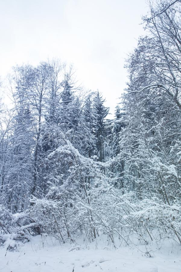 White bushes. Trees and pines. Calm winter landscape. Christmas background. Quiet snow day on a forest stock images