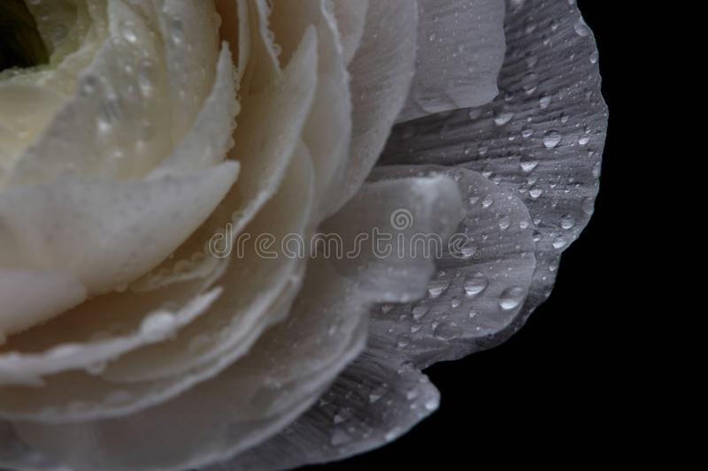 White buttercup with drops, macro photo. Natural pattern royalty free stock images