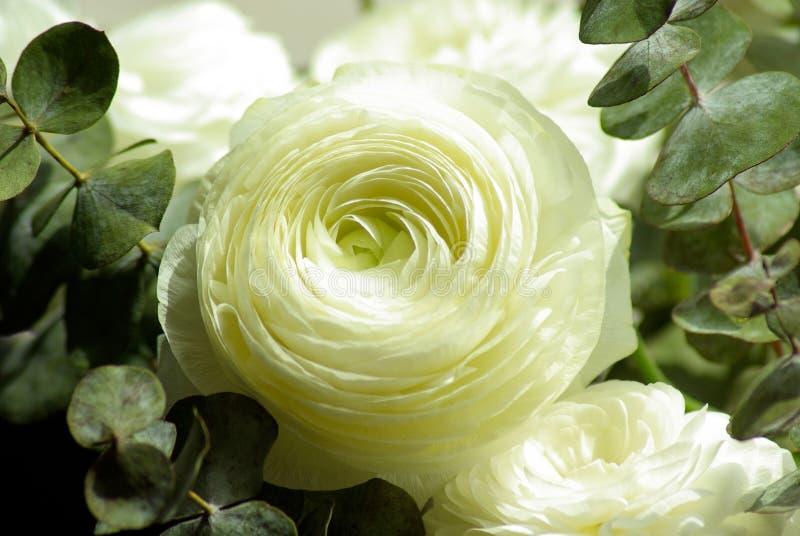 White Buttercup Flowers Free Public Domain Cc0 Image