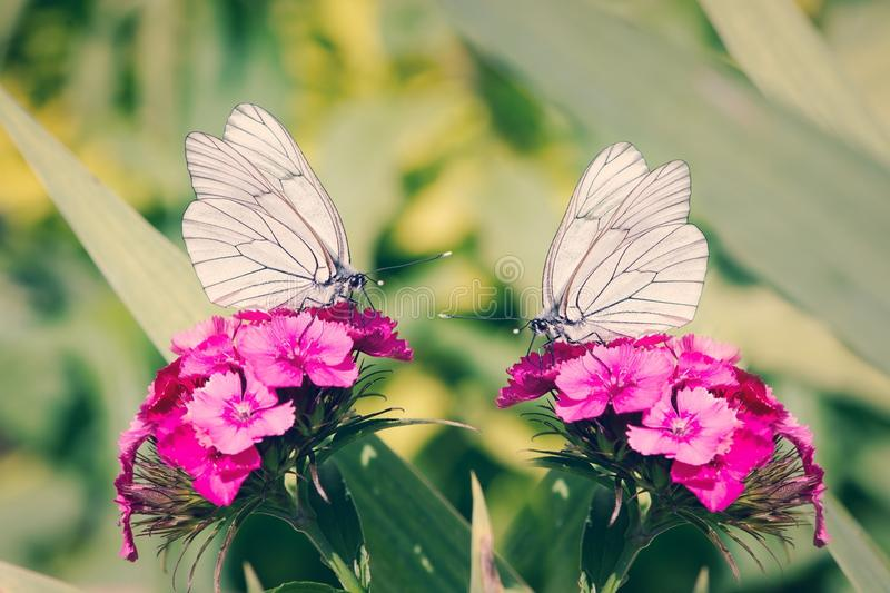 2 White Butterflies on Pink Flowers royalty free stock image