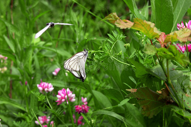 White butterflies together on flower and one in flght royalty free stock images