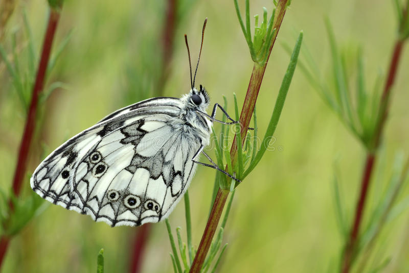 Download White Butterfly Royalty Free Stock Images - Image: 15043099