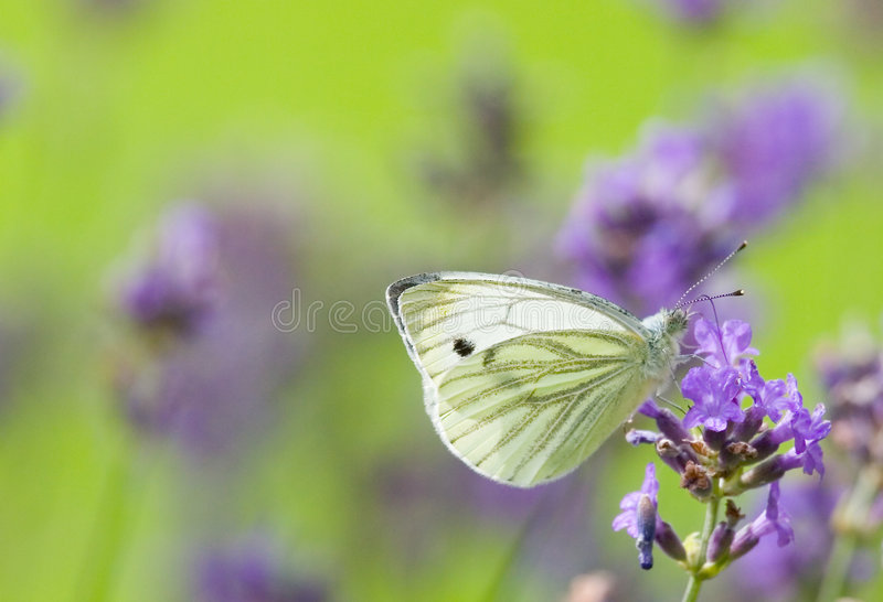 White butterfly 2 stock images
