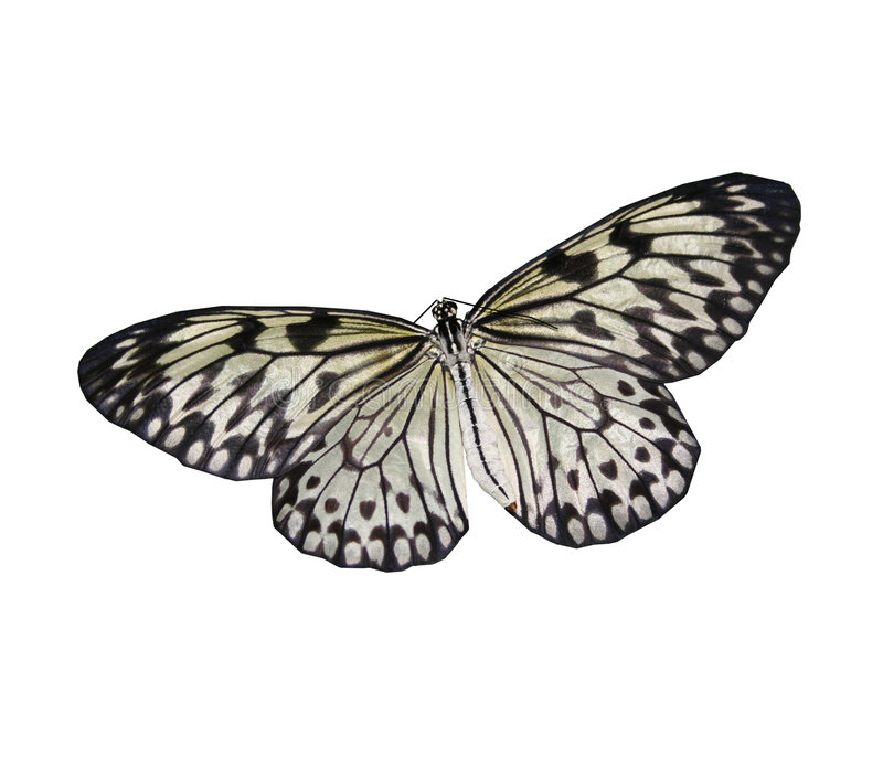 Download White Butterfly stock image. Image of black, eyes, flight - 3676939