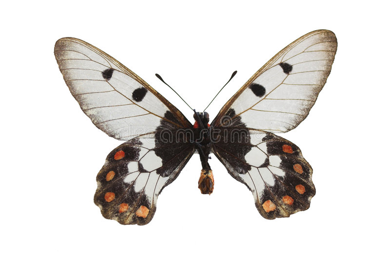 The White Butterfly 4 stock photo