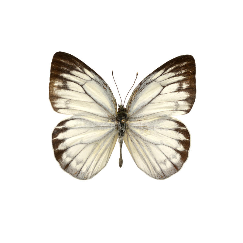 Free White Butterfly Stock Images - 62956954