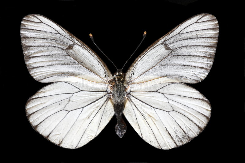 Download White butterfly stock image. Image of pretty, biology - 6332823