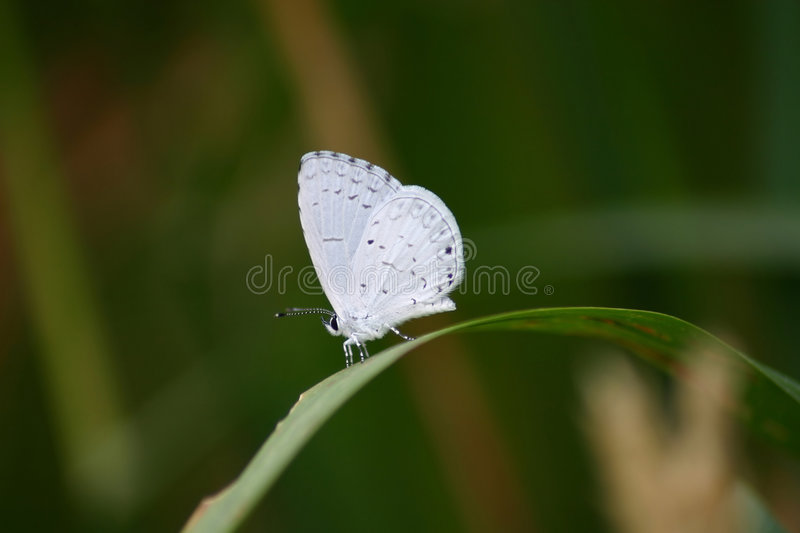 White Butterfly. On a blade of grass stock photos