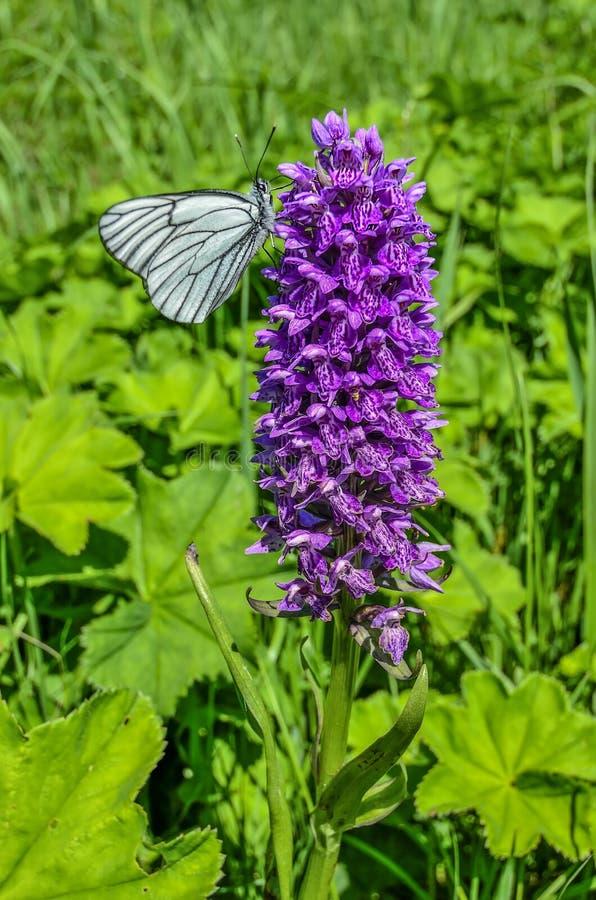 White butterfly Aporia crataegi on purple wild orchid Dactylorhiza majalis flower royalty free stock image