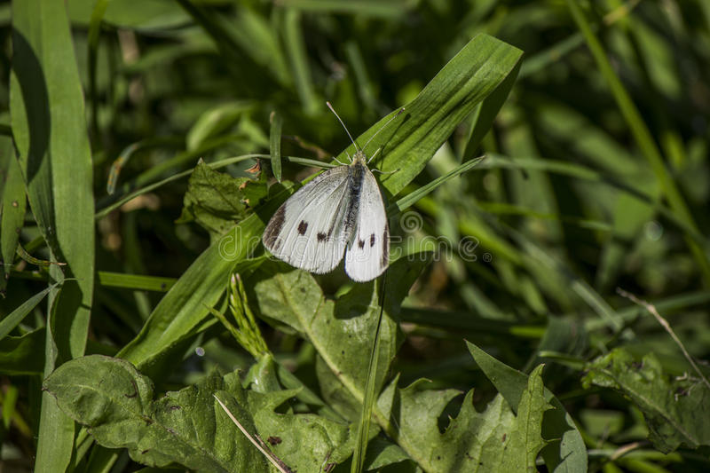White butterfly. royalty free stock photo