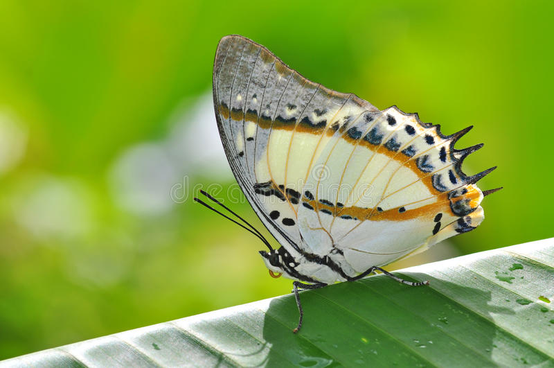 White Butterfly on Banana leaves royalty free stock images