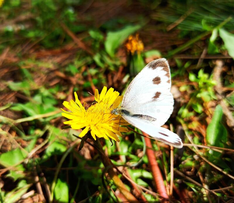 White butterfly with black spotted wings sitting on yellow dandelion flower and sucking nectar stock photography