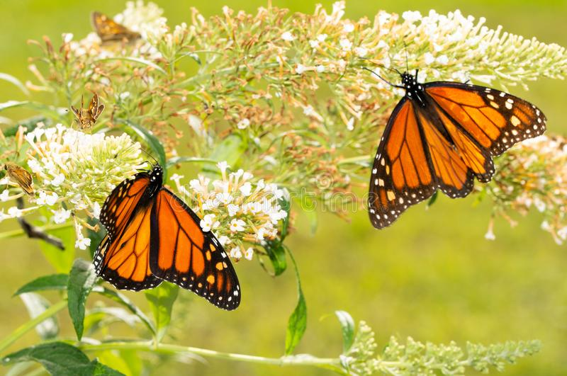 White Butterfly bush with a migrating Monarch butterfly refueling on nectar royalty free stock photos