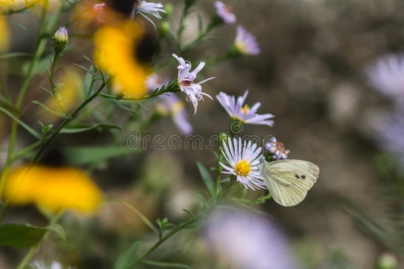 White butterfly on a flower. Captured moment when the white butterfly stands on the flower and sucks the juice stock photos