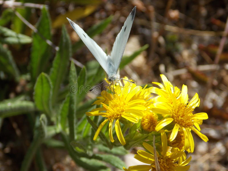 A white butterfly on a flower. A butterfly that sucks a flower in the spring stock image
