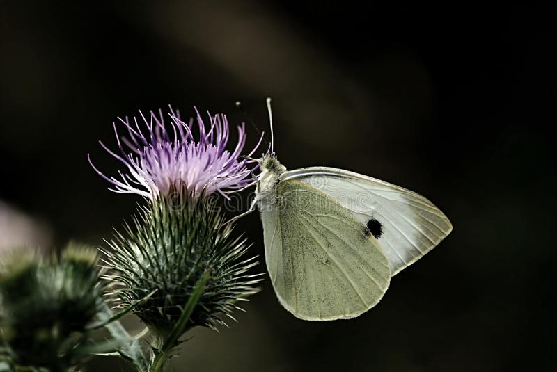 White Butterfly on Flower Thistle stock image
