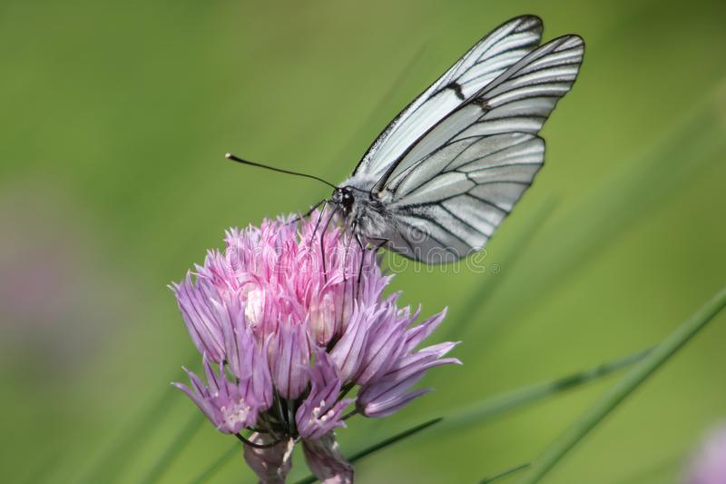 White butterfly on a flower royalty free stock photography
