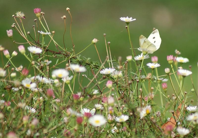 White Butterfly Flowers stock images