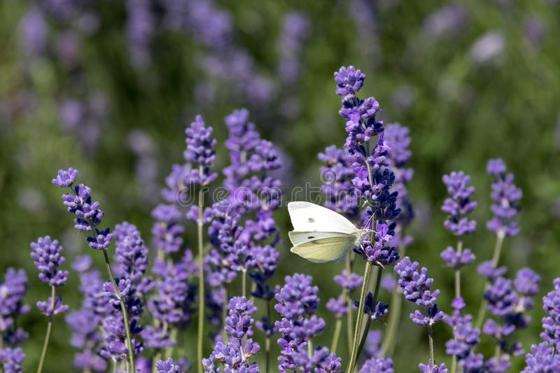 White butterfly flutters around the flower heads on a flower farm in the Cotswolds, Snowshill UK. Close up view of lavender growing on a flower farm in the stock photo