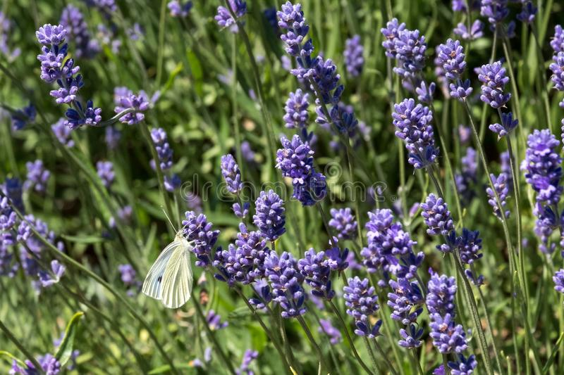 White butterfly flutters around the flower heads on a flower farm in the Cotswolds, Snowshill UK. Close up view of lavender growing on a flower farm in the royalty free stock photo