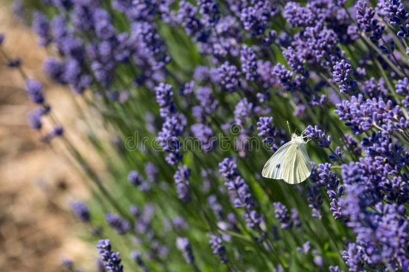 White butterfly flutters around the flower heads on a flower farm in the Cotswolds, Snowshill UK. Close up view of lavender growing on a flower farm in the royalty free stock photography
