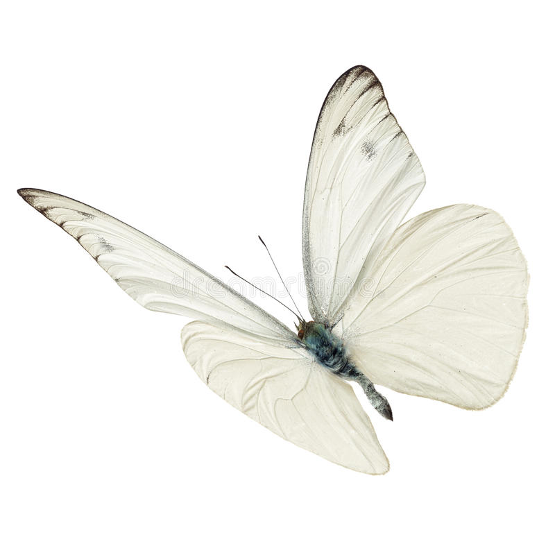 Free White Butterfly Flying Royalty Free Stock Images - 64140979