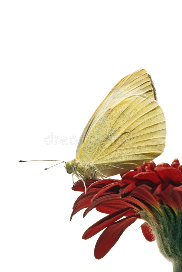 Download White butterfly isolated stock image. Image of animal - 3082927