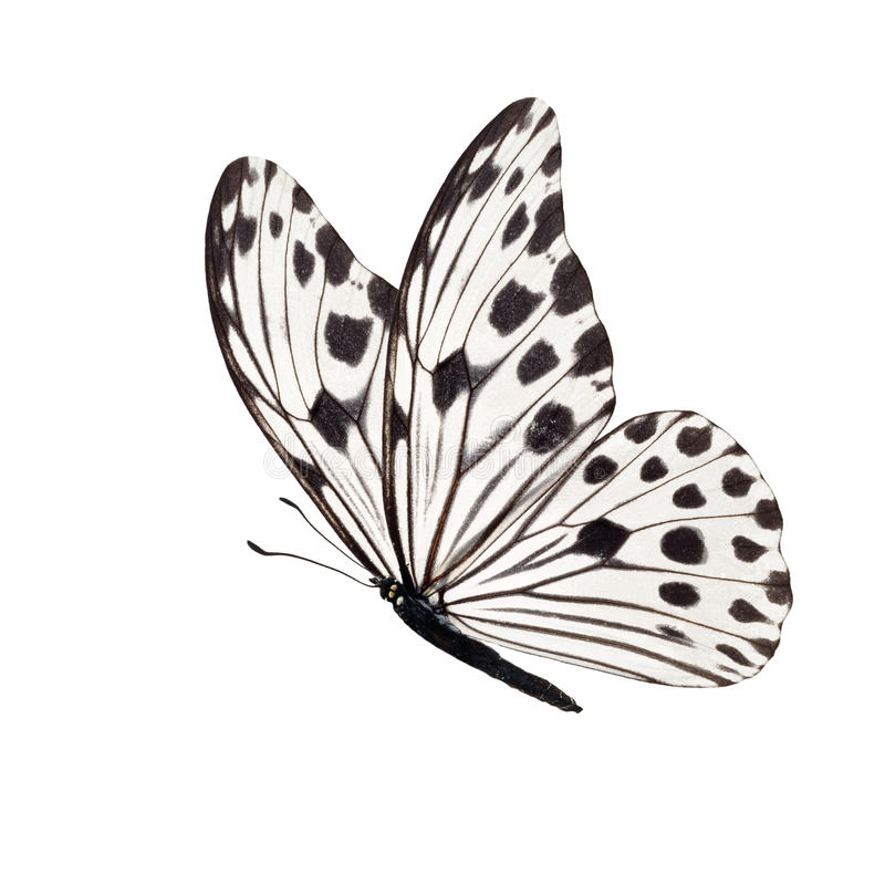 Free White Butterfly Isolated Royalty Free Stock Photography - 98722657
