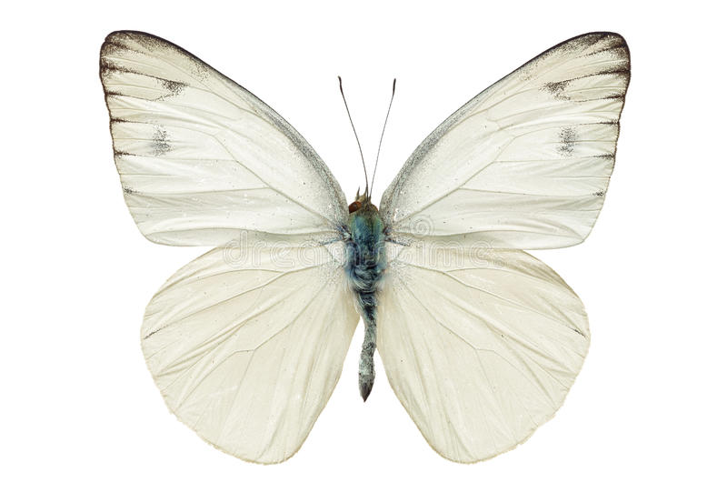 Download White butterfly stock photo. Image of tropical, monarch - 46588036