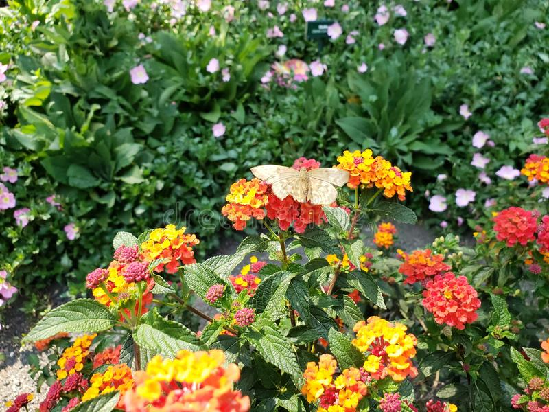 White butterfly in lantana flowers garden. Nature and botany, flora and natural life, flower petals with intense colors for garden and park decoration, beauty royalty free stock images