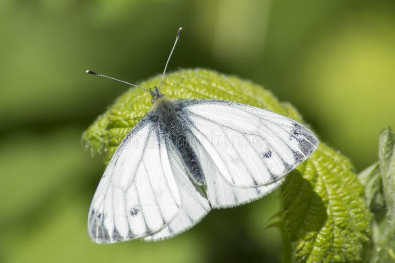 Download A White Butterfly  On A Leaf Stock Image - Image of southampton, minibeast: 115968969