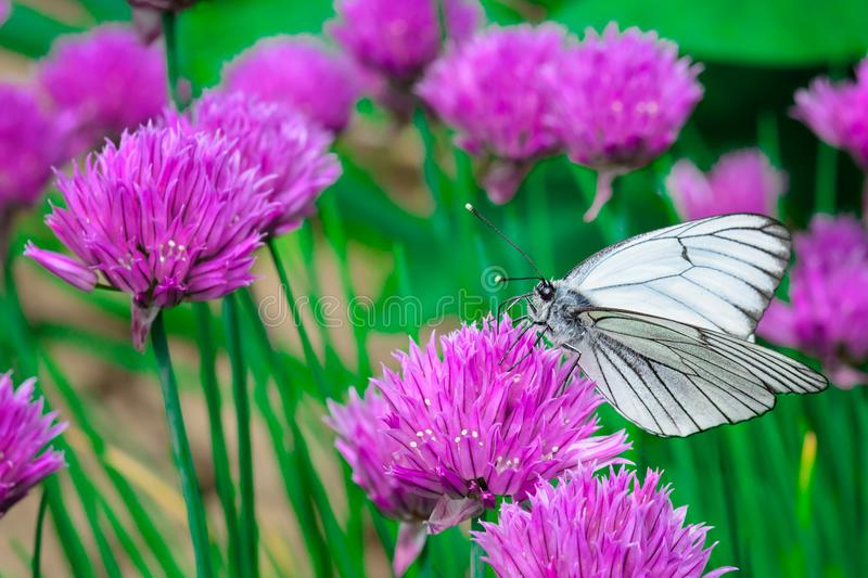 White butterfly on a pink flower. Bright macro photo. An extraordinary picture close up. royalty free stock photos