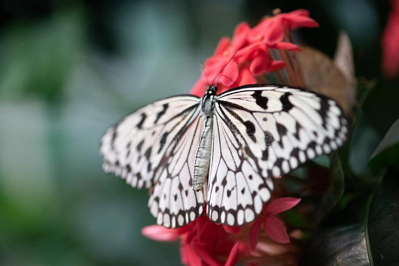 Black and White Butterfly on pink tropical flower. Full winged Black and White Butterfly resting on a delicate on pink tropical flower stock image