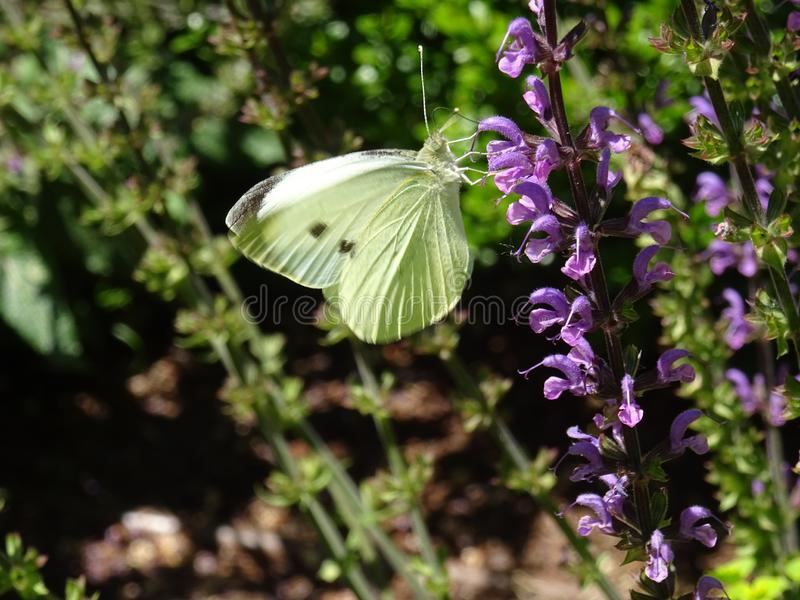 White butterfly and purple flower stock photos