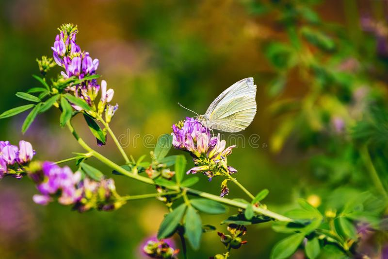 White butterfly sits on flower in meadow in sunny weather_ royalty free stock image
