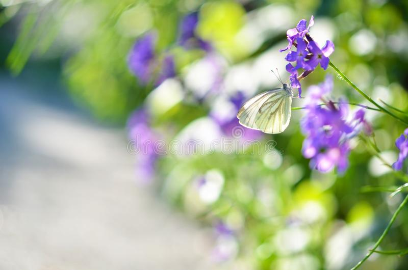 The white butterfly sits on flowers in park. Summer time stock image
