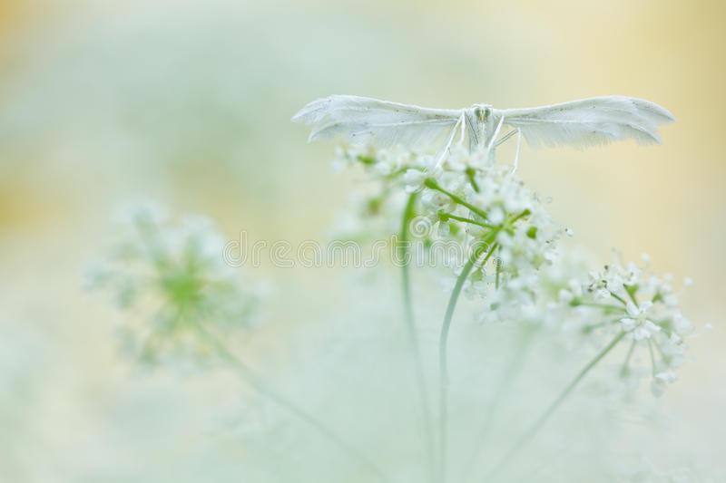 White butterfly on soft background. White plume moths, Pterophorus pentadactyla in soft focus royalty free stock photography