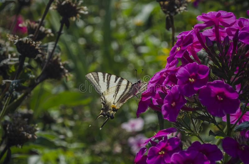 White butterfly with stripes sitting on the purple Phlox flowers. The scarce swallowtail, Iphiclides podalirius is a stock images
