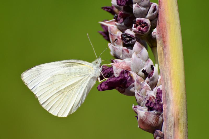 A white butterfly on the thalia stock photos