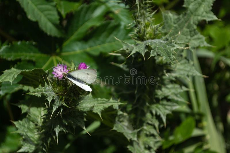 White butterfly on violet thistle flower, with stems and green l royalty free stock photo