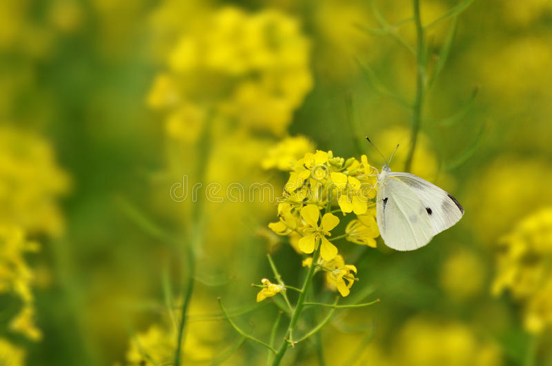 White butterfly in a yellow field stock image