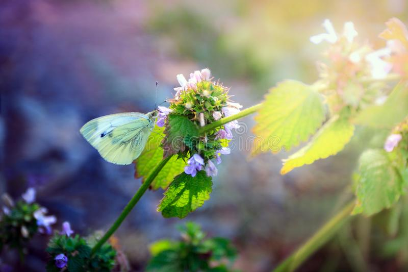 White cabbage butterfly sits on a motherwort royalty free stock image